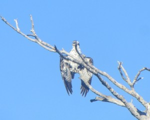 Randall Research Center at Pine Island hosts two osprey nests