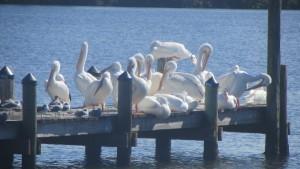 Pine Island White Pelicans on a My Home Biz excursion