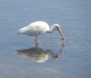 Ibis on Sanibel Captiva on a home biz excursion