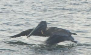 Pelican at Sanibel causeway on a home biz excursion