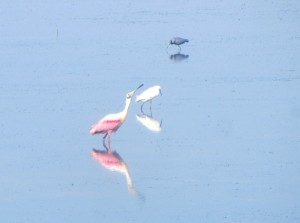 Roseate Spoonbill in Sanibel Captiva on a home biz excursion