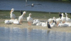 White Pelicans on Sanibel Captiva on a home biz excursion